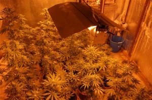 serra cannabis