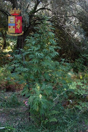 marijuana 2 metri