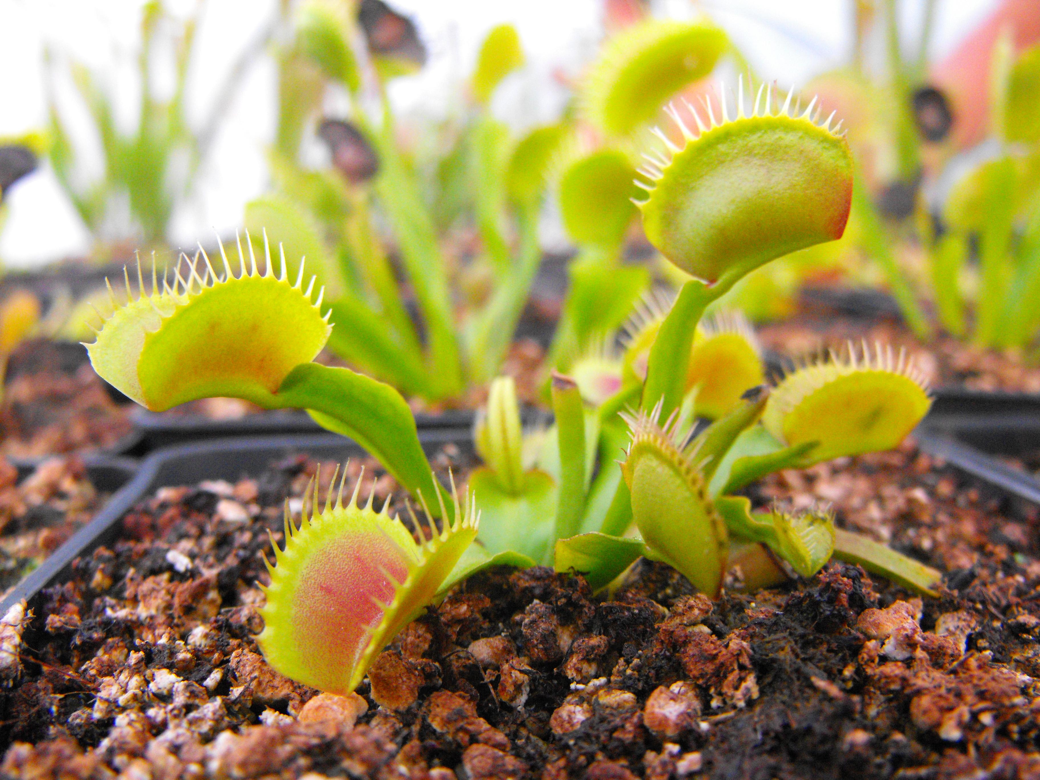 Piante carnivore in esposizione all 39 orto botanico gli for Piante carnivore