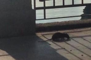 Arriva la primavera e Messina rischia l'invasione di topi blatte e zanzare