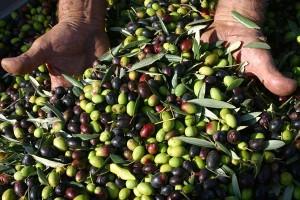 olive-nuove olio