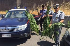 Carabinieri e Forestali scoprono una piantagione di marijuana con 200 piante