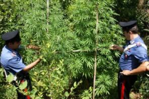 Tortorici. Scoperta piantagione di marijuana: arrestato un 30enne