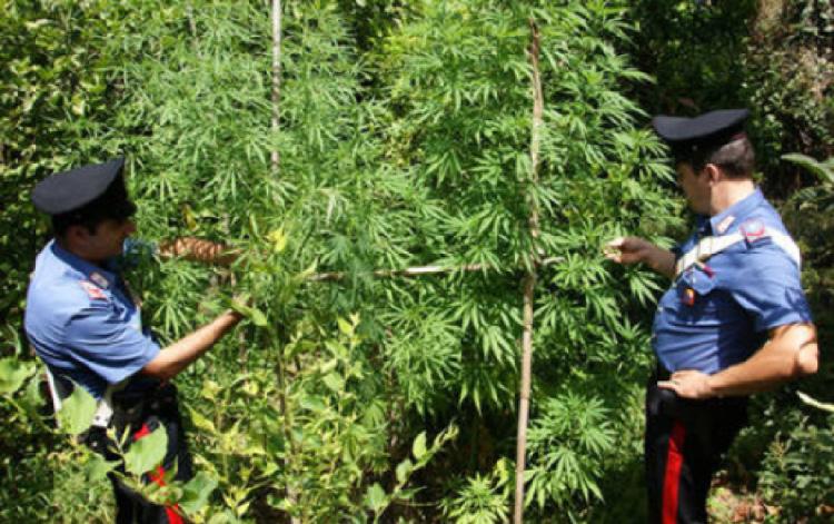 Foto piante marijuana - sequestro Carabinieri Sant'Agata di Militello