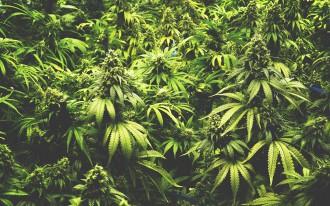 Foto repertorio piantagione marijuana - cannabis indica