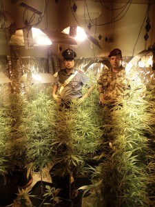 Sequestrate 90 piante di cannabis