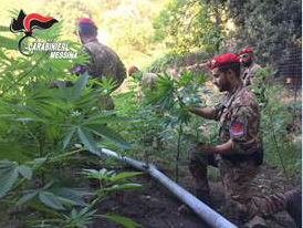 Foto carabinieri piantagione marijuana - Pezzolo e Altolia, Messina