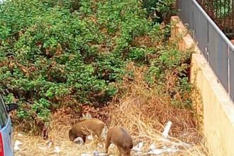 Foto dei cinghiali in Contrada Catanese