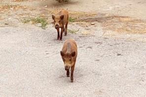 Messina. Censimento e abbattimento cinghiali: la risposta degli animalisti