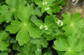 Petagnaea gussonei - pianta dei monti nebrodi in via d'estinzione- messina