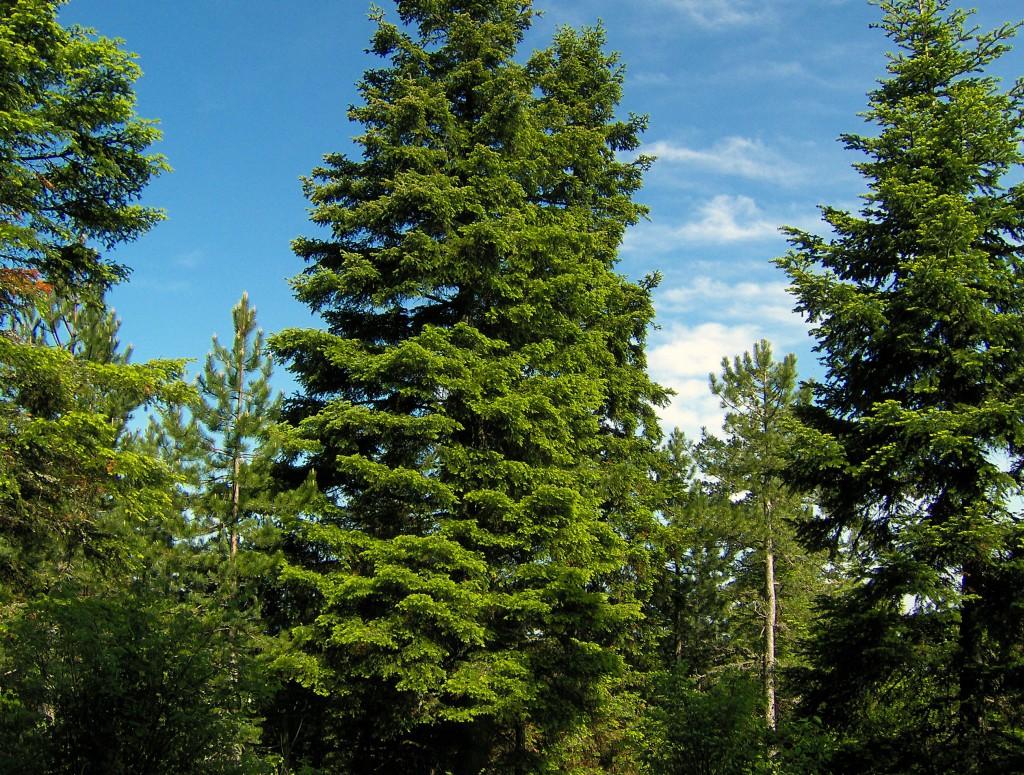 alberi di natale per rimboscare le montagne
