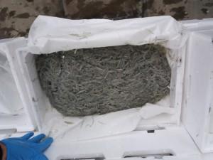 Foto dettaglio del novellamene di sardine sequestrato