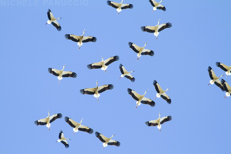 uccelli migratori studi terna