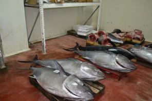 Trasportavano illegalmente 800 chili di tonno rosso. Verrà dato in beneficenza