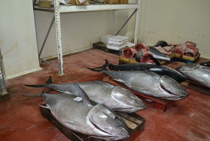 immagine del tonno rosso sequestrato