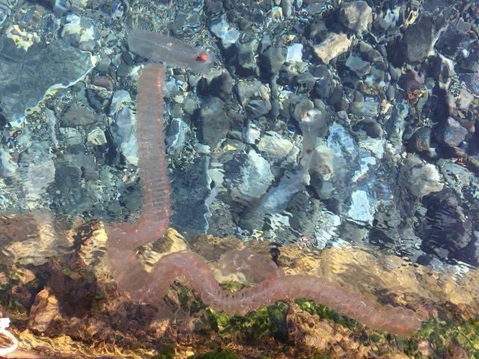 Plancton Salpa Maxima trovata nel mare di Lipari - isole eolie - messina