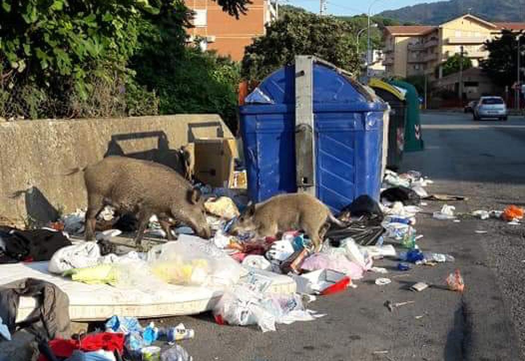 foto di due cinghiali che rovistano tra i rifiuti sul marciapiede di san licandro, in via leonardo sciascia, messina