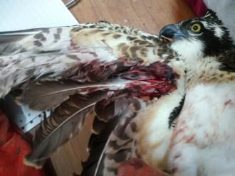 Falco pescatore ferito Messina