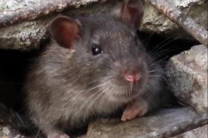 Messina. È allarme topi sul Viale Annunziata