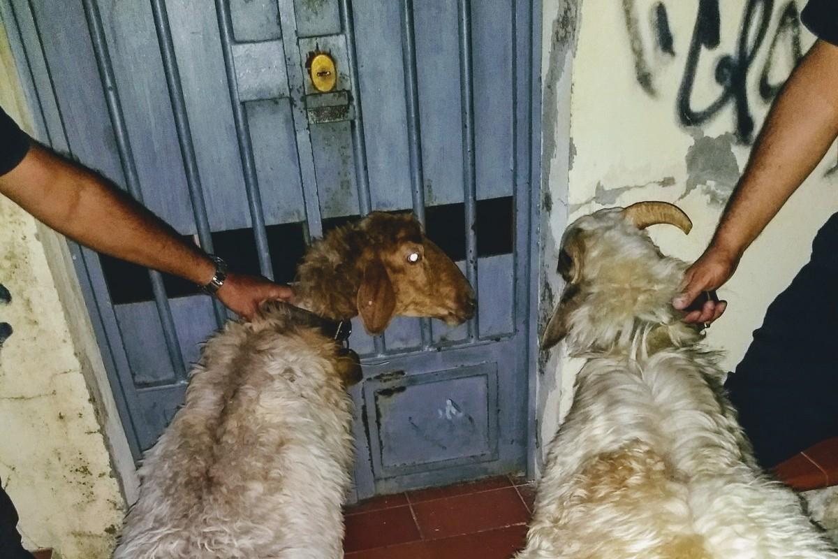pecore a spasso per Messina