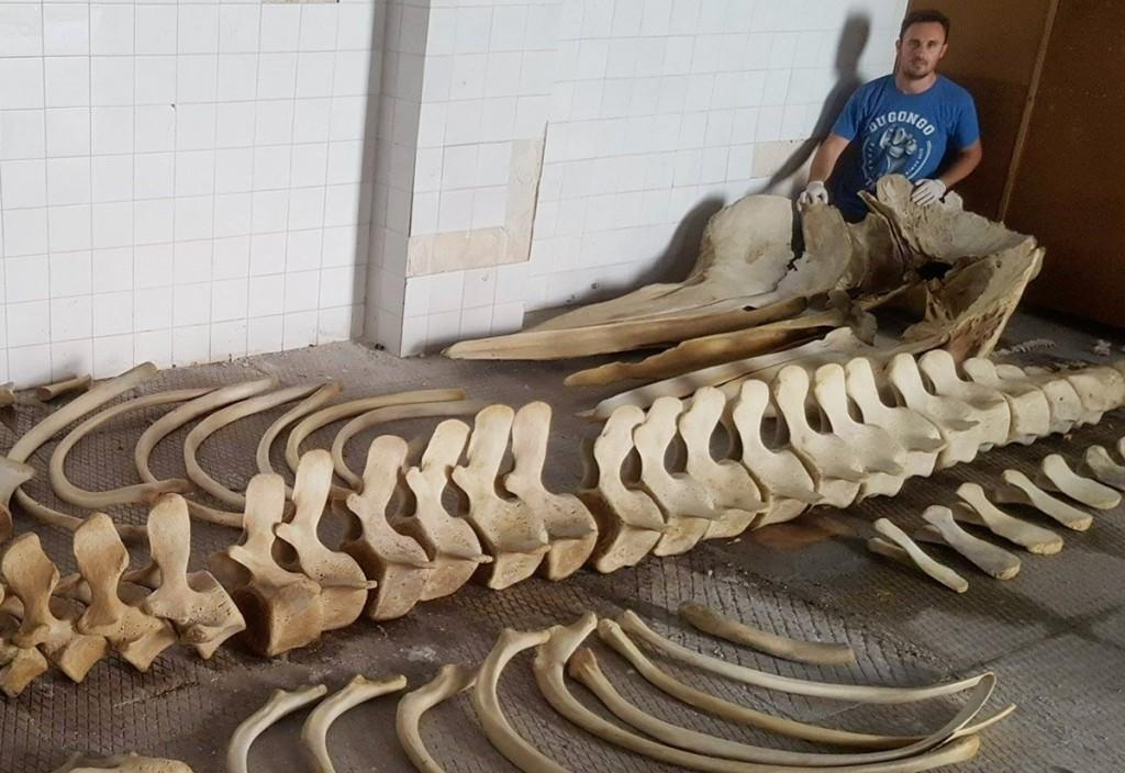 foto delle ossa del capodoglio siso, morto nel mare delle isole eolie perché intrappolato in una rete da pesca illegale e di Carmelo Isgrò, il biologo che vuole creare un'esposizione in suo onore grazie a una raccolta fondi
