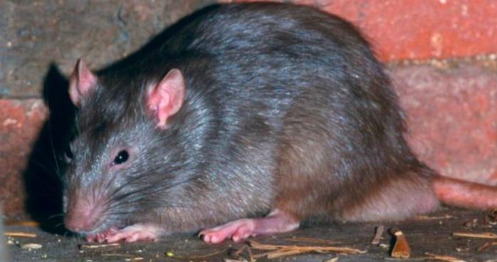 ratto topo