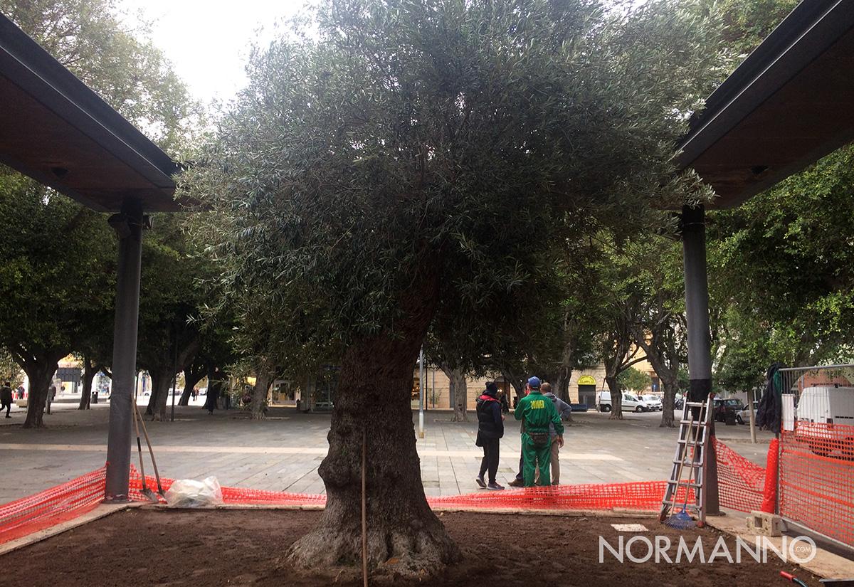 albero, ulivo, piazza cairoli, messina