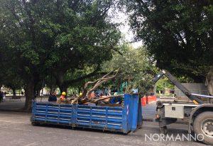 albero, ulivo malato, rimosso da piazza cairoli a messina