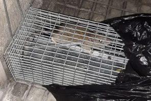 Messina. Nuova invasione di topi nella Quinta Circoscrizione – VIDEO