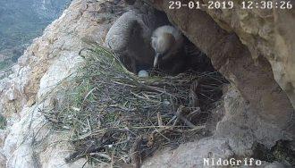 screen del video del grifone che depone il primo uovo in diretta dal parco dei nebrodi, provincia di messina