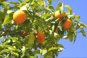 Via della seta: le arance di Sicilia volano in Cina