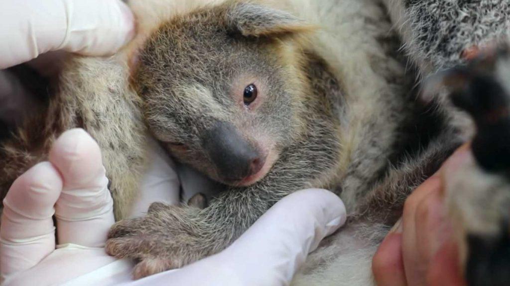 belle notizie: primo koala nato in un parco vicino Sidney in Australia dopo gli incendi del 2019-2020