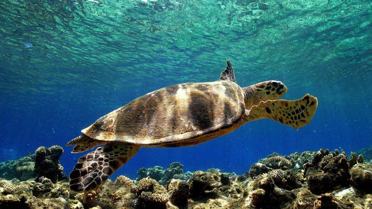 foto di una tartaruga marina caretta caretta