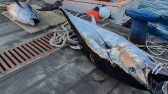 foto di due esemplari di tonno rosso pescati illegalmente e sequestrati dalla Guardia di Finanza