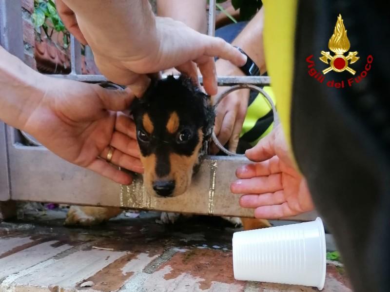 foto di un cucciolo di cane con la testa incastrata nelle grate di un cancello