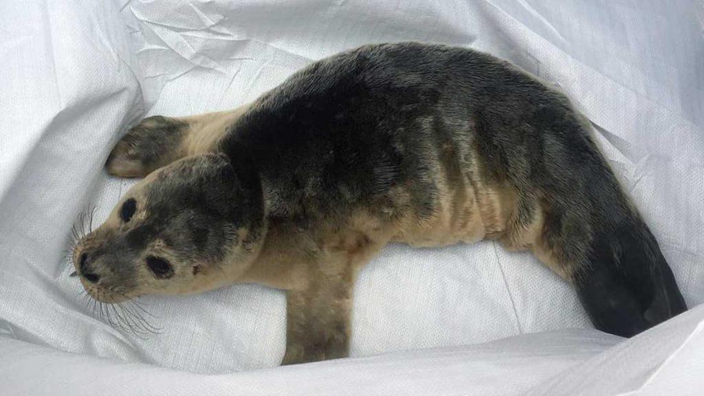 nave salva un cucciolo di foca nel mare del nord