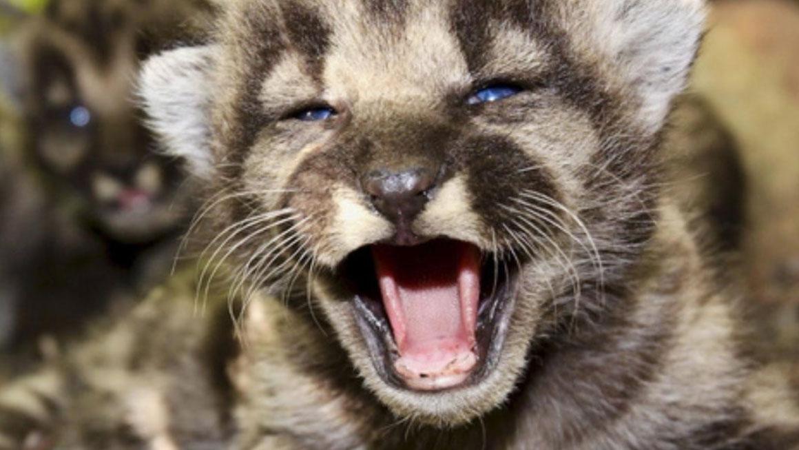 belle notizie: 13 cuccioli di puma nati in un parco negli stati uniti