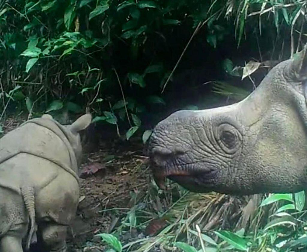belle notizie: foto di un cucciolo di rinoceronte di giava, specie a rischio estinzione